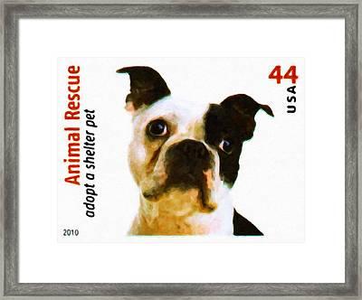 Boston Terrier Framed Print by Lanjee Chee