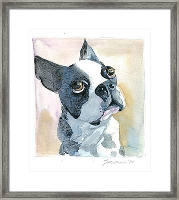 Boston Terrier Framed Print by Mike Lawrence