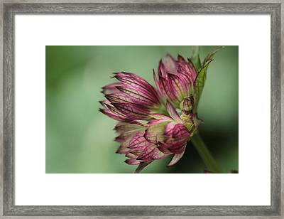 Botanica .. New Beginnings  Framed Print by Connie Handscomb