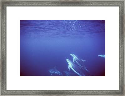 Bottlenose Dolphins Swimming In Open Framed Print by James Forte