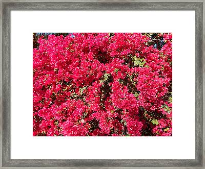 Bougainvillas 2 Framed Print by Ron Kandt