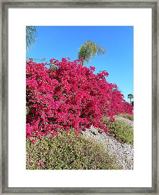 Bougainvillas 3 Framed Print by Ron Kandt