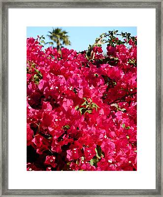 Bougainvillas 4 Framed Print by Ron Kandt
