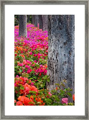 Bougainvillea Forever Framed Print by Eggers Photography