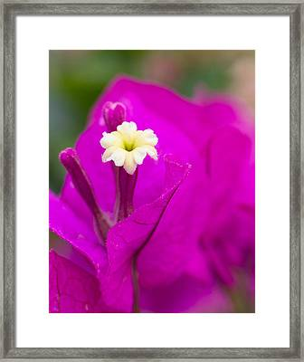 Bougainvillea Framed Print by Penny Meyers