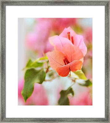 Bougainvillea Whispers Framed Print by Jessica Jenney
