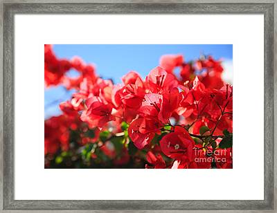 Bougainvilleas Framed Print by Gaspar Avila