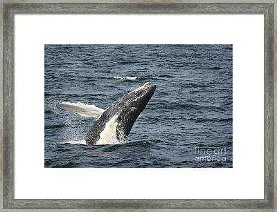 Breaching Humpback Whale Framed Print by Jim  Calarese