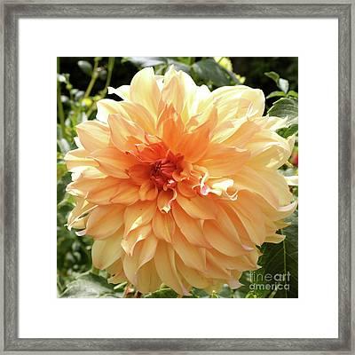 Bright And Beautiful Dahlia Framed Print by Carol Groenen
