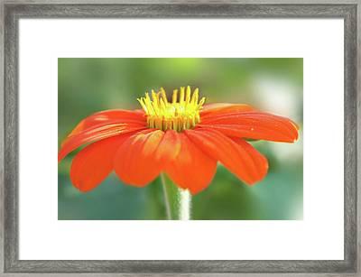 Bright Orange Flower Framed Print by Art Spectrum