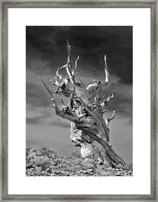 Bristlecone Pine - A Survival Expert Framed Print by Christine Till
