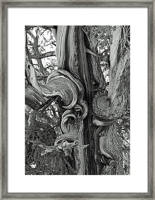 Bristlecone Pine Detail Framed Print by Troy Montemayor