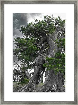 Bristlecone Pine Tree On The Rim Of Crater Lake - Oregon Framed Print by Christine Till