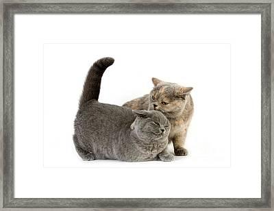 British Shorthair Cats Framed Print by Gerard Lacz