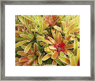 Bromeliad Brightness Framed Print by Ron Dahlquist - Printscapes