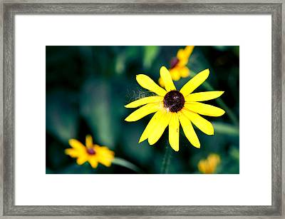 Brown Eyed Susan Framed Print by Jame Hayes