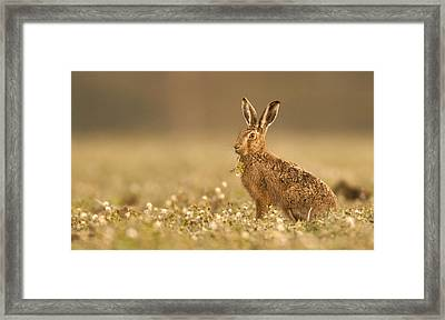 Brown Hare  Framed Print by Paul Neville