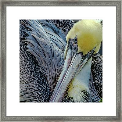Brown Pelican Framed Print by Bill Gallagher