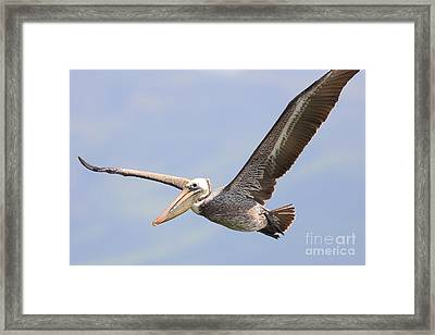 Brown Pelican Flying Framed Print by Wingsdomain Art and Photography