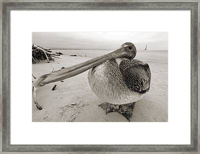 Brown Pelican Folly Beach Morris Island Lighthouse Close Up Framed Print by Dustin K Ryan