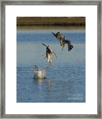 Brown Pelicans Plunge Feeding Framed Print by Marie Read