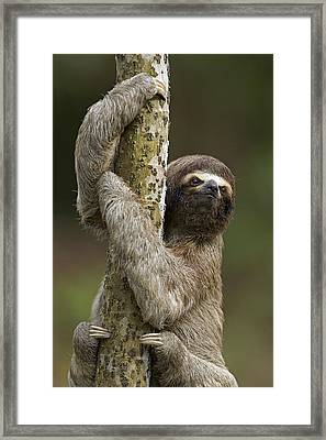 Brown-throated Three-toed Sloth Framed Print by Ingo Arndt