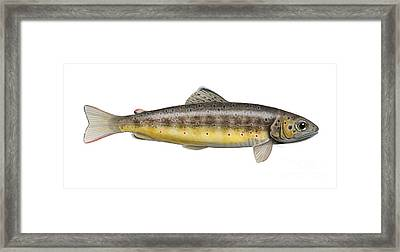 Brown Trout - Autochthonous - Indigenous - Salmo Trutta Morpha Fario - Salmo Trutta Fario Framed Print by Urft Valley Art