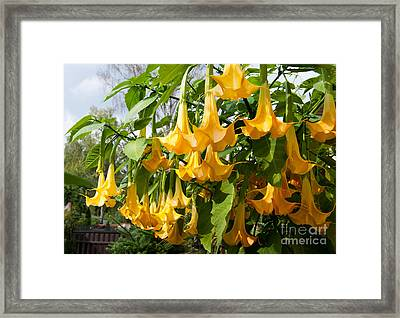 Brugmansia Named Angels Trumpets Or Datura  Framed Print by Arletta Cwalina