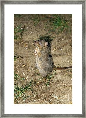 Brush Tailed Bettong Bettongia Framed Print by Gerard Lacz