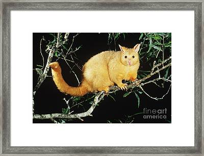 Brush-tailed Opossum Framed Print by B. G. Thomson