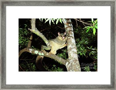 Brushtail Possum Framed Print by Genevieve Vallee