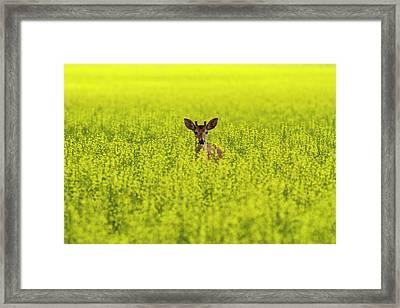 Buck In Canola Framed Print by Mark Kiver