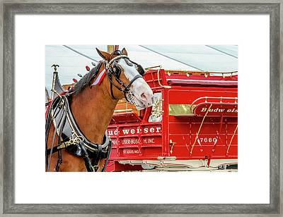 Budweiser Clydesdale In Full Dress Framed Print by Bill Gallagher