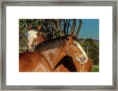 Budweiser Clydesdales  Framed Print by Bill Gallagher