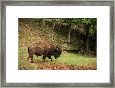 Buffalo Walking Along Streambed Framed Print by Georgia Evans