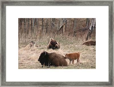 Buffalo And Calf Framed Print by Andrea Lawrence