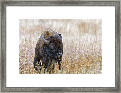 Buffalo Grazing Framed Print by Gary Langley