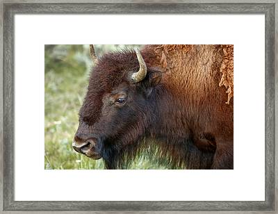Buffalo Head Framed Print by Todd Klassy