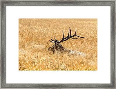 Bull Elk Bedded Down Framed Print by James BO  Insogna