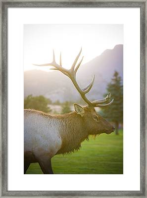 Bull Elk Profile Framed Print by James BO  Insogna