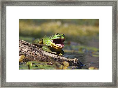 Bull Frog Framed Print by Mircea Costina Photography