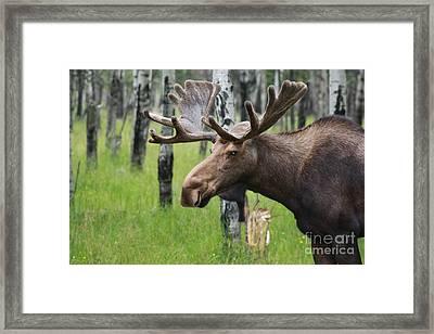 Bull Moose Portrait Framed Print by Cathy  Beharriell