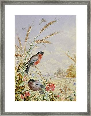 Bullfinches In A Harvest Field Framed Print by Harry Bright