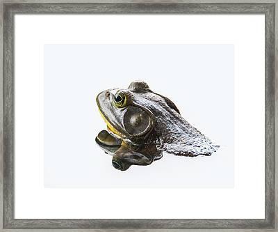 Bullfrog Framed Print by Angie Vogel