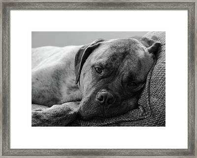 Bullmastiff B/w Framed Print by Jennifer Ancker