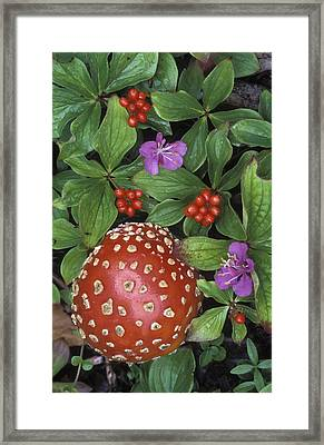 Bunchberry Cornus Canadensis And Fly Framed Print by Rich Reid