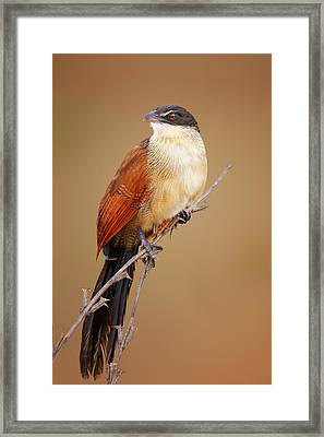 Burchell's Coucal - Rainbird Framed Print by Johan Swanepoel