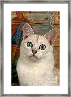 Burmilla Cat Framed Print by Gerard Lacz
