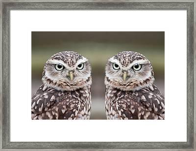 Burrowing Owls Framed Print by Tony Emmett