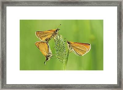 Butterflies Framed Print by Mircea Costina Photography